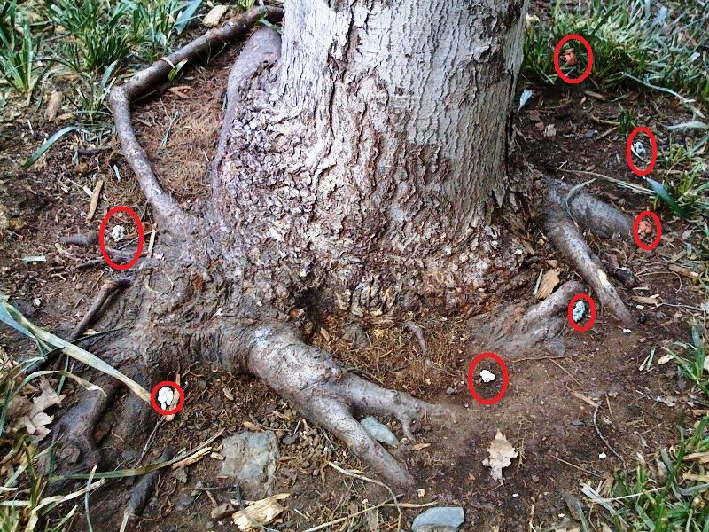 tree-gum4