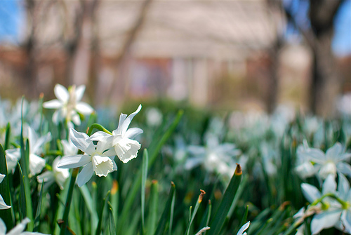daffodils_flipperman75